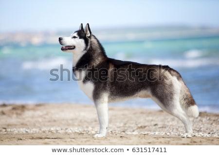 Güzel boğuk fotoğraf yetişkin köpek göz Stok fotoğraf © mastergarry