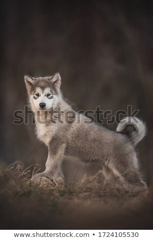 gray wolf on small hill stock photo © prill