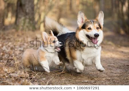 犬 · 座って · 孤立した · 白 · 顔 - ストックフォト © eriklam