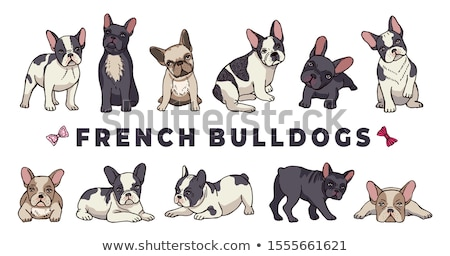 français · bulldog · séance · blanche · studio · animal - photo stock © eriklam