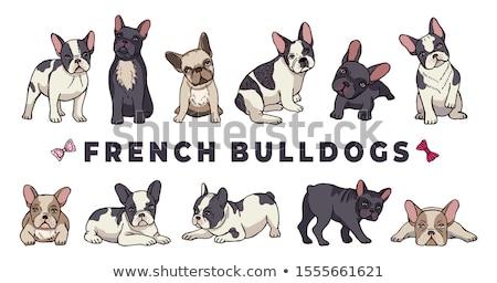 Stockfoto: Frans · bulldog · vergadering · witte · studio · huisdier
