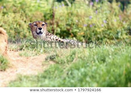 çita çayır çim kedi Afrika dışında Stok fotoğraf © smithore