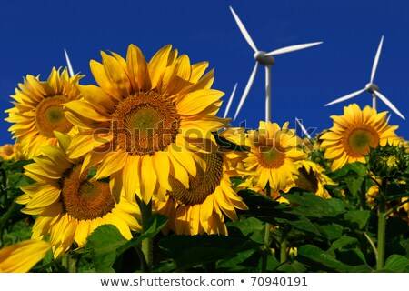 Windmills Behind Sunflower Field Stok fotoğraf © visdia