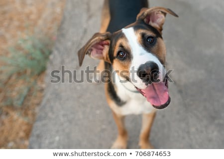Mongrel dog Stock photo © kawing921