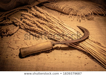 Kłosie jęczmień wyblakły drewna charakter przestrzeni Zdjęcia stock © kornienko