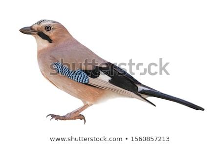 Schoonheid vogel winter Blauw bos Stockfoto © scooperdigital