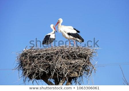 Ninho cegonha casal jovem holandês blue sky Foto stock © compuinfoto