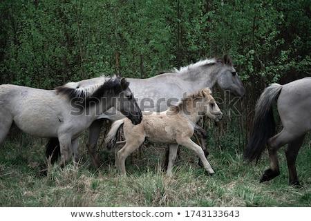 Konik horses Stock photo © Hofmeester