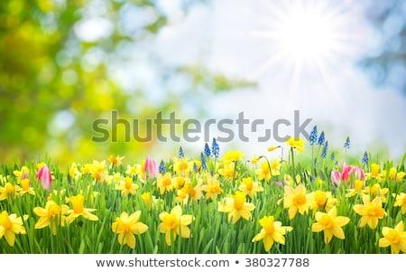 黄色 水仙 春 春 日光 ストックフォト © sarahdoow