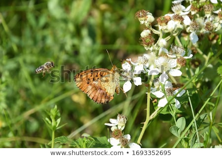 Brenthis daphne, Marbled fritillary, butterfly on white cosmos flower, Japan Stock photo © shihina