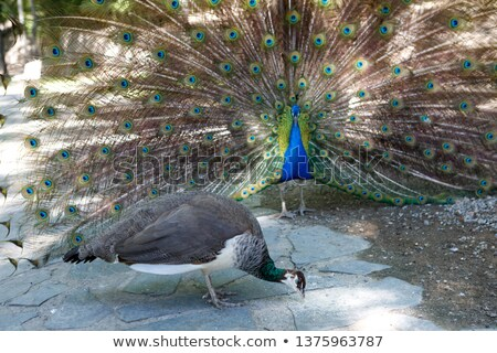 Peacock in a mating display Stock photo © juniart