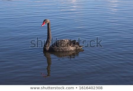 Cisne flutuante pacífico água beleza Foto stock © kimmit