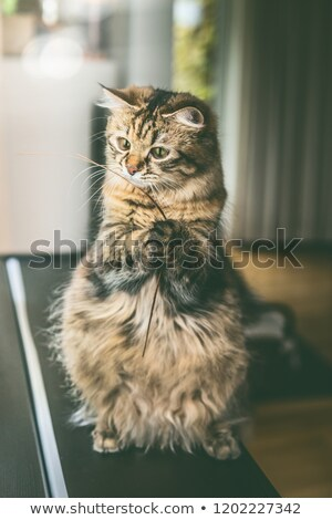 Cat on hind legs with blue background Stock photo © IS2