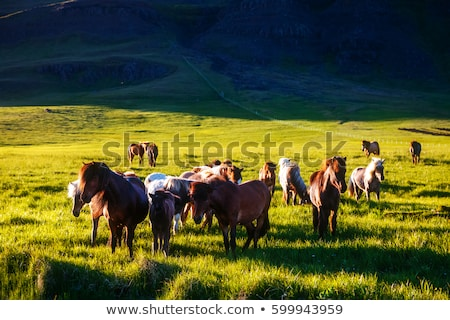 icelandic pony grazing in the pasture that is illuminated by the stock photo © leonidtit