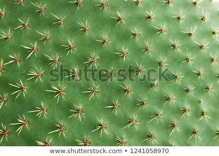 textural image of cactuses Stock photo © taviphoto