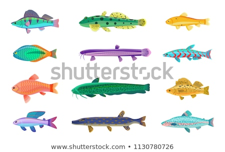 Jack Dempsey and Cichlid Set Vector Illustration Stock photo © robuart