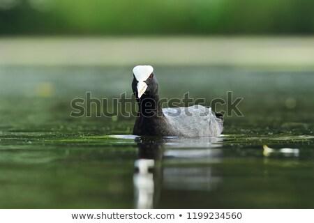common coot swimming towards the camera stock photo © taviphoto