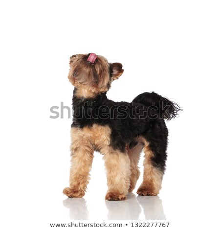 side view of eager yorskhire terrier looking up stock photo © feedough