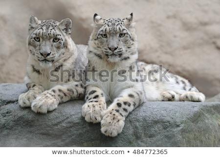Gyönyörű fehér hó leopárd macska egzotikus Stock fotó © artush