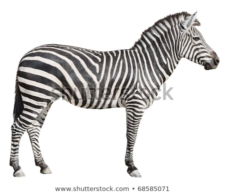 Plain Burchell's Zebra female standing side view on white stock photo © DragonEye