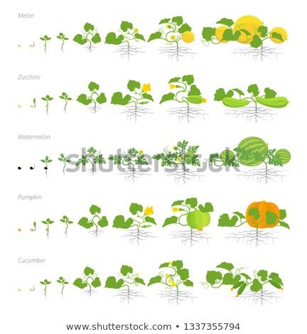 Establecer vida agrícola planta verde pepino Foto stock © Lady-Luck