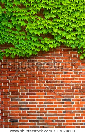 ivy on brickwall Stock photo © sweetcrisis