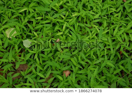 Green grass closeup, suitable for backgrounds  Stock photo © inxti