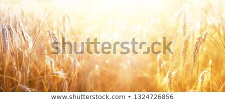 Közelkép kilátás fülek naplemente nyár mező Stock fotó © mahout