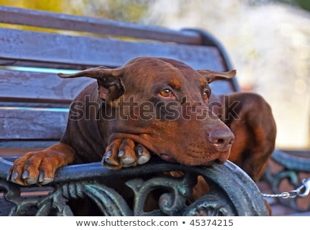 Photo of Doberman dog laying on the bench Stock photo © algor