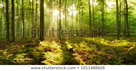 Felce luce del sole foresta natura foglia giardino Foto d'archivio © meinzahn
