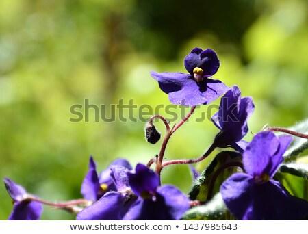 head of violet viola flower Stock photo © TRIKONA
