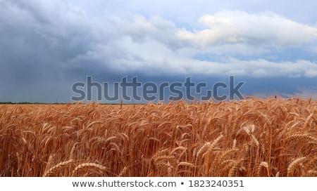 drogen · mais · voedsel · leven · eten · landbouw - stockfoto © stevanovicigor