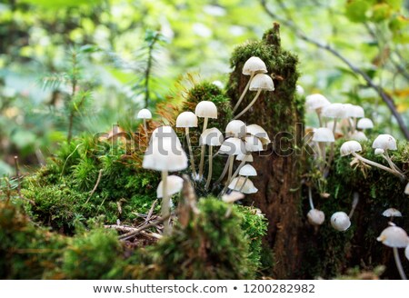 stump with moss covered white mushrooms stock photo © master1305