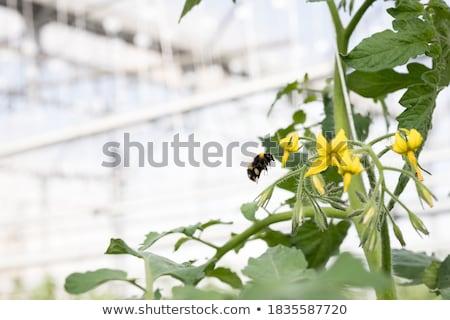 トマト 花 画像 葉 フルーツ ストックフォト © nialat