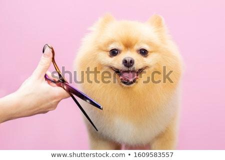 puppy · teckel · witte · hond · studio · draad - stockfoto © willeecole