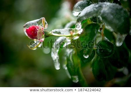 Rózsa levelek fagy jég fa természet Stock fotó © meinzahn