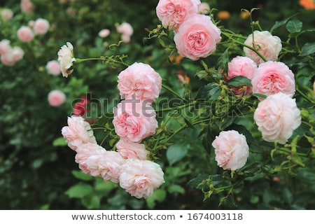 Plant design with bush and roses Stock photo © bluering