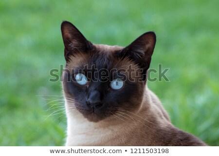 сирень · точки · сиамские · кошки · взрослый · подвесной · кровать - Сток-фото © svetography