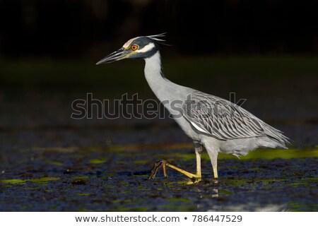 yellow crowned night heron stock photo © craig