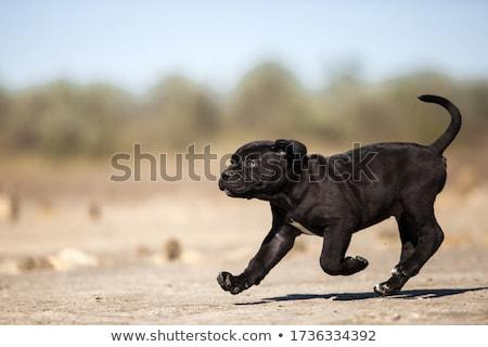 puppy italian mastiff cane corso Stock photo © vladacanon