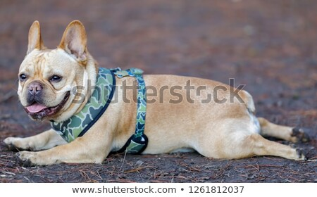 Young Male Frenchie resting with frog legs style. Stock photo © yhelfman