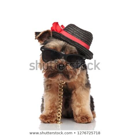 Gentleman terriër zonnebril permanente zwarte Stockfoto © feedough