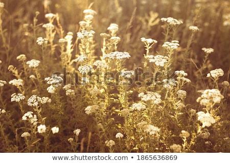 Rilassante erba fiori gialli fiori abstract Foto d'archivio © galitskaya