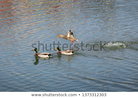 Adult male duck in river or lake swimming in water Stock photo © simazoran