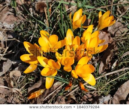 Amarelo primavera luz do sol estreito folhas verdes Foto stock © sarahdoow