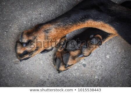 Twee honden zoogdier huiselijk hoektand Stockfoto © eriklam