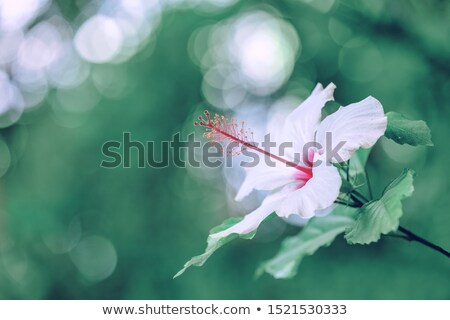 Pink Hibiscus flower, Ethiopia Stock photo © artush