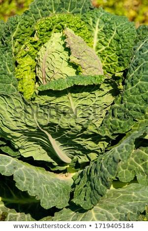 Savoy Crinkly Cabbage Stock photo © bobkeenan
