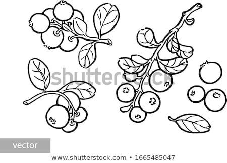 Branches of the whortleberry and cowberries Stock photo © RuslanOmega