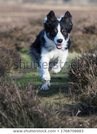 Collie dog running Stock photo © raywoo